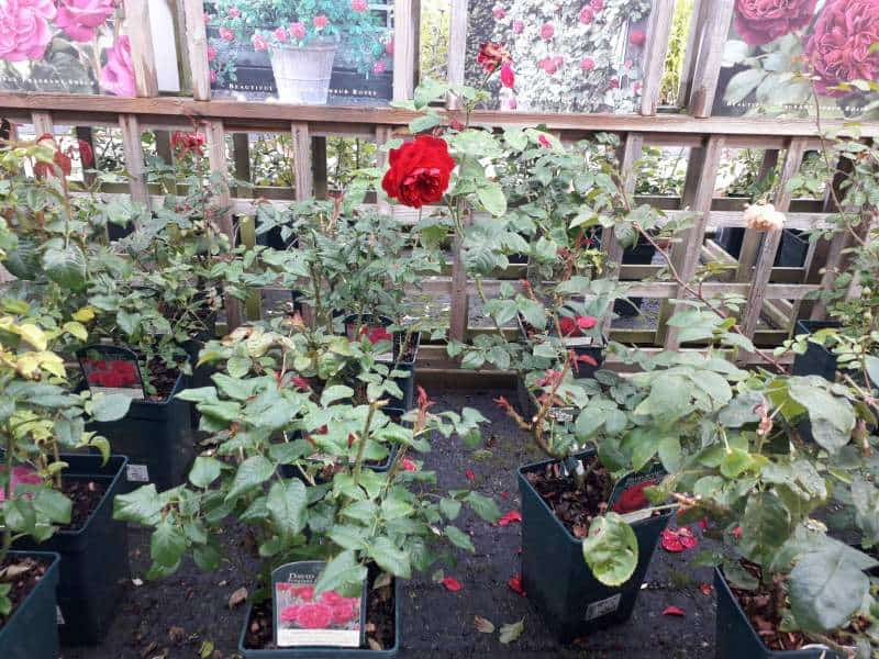 How much space do roses need to grow