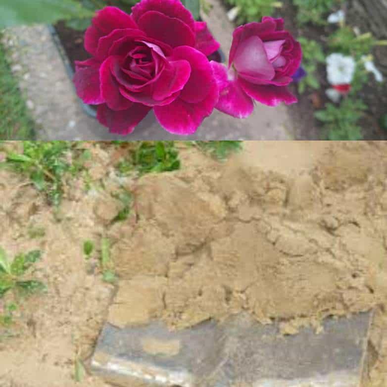 Roses in sandy soil