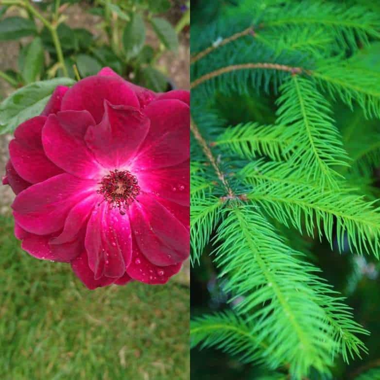 Growing roses under pine trees