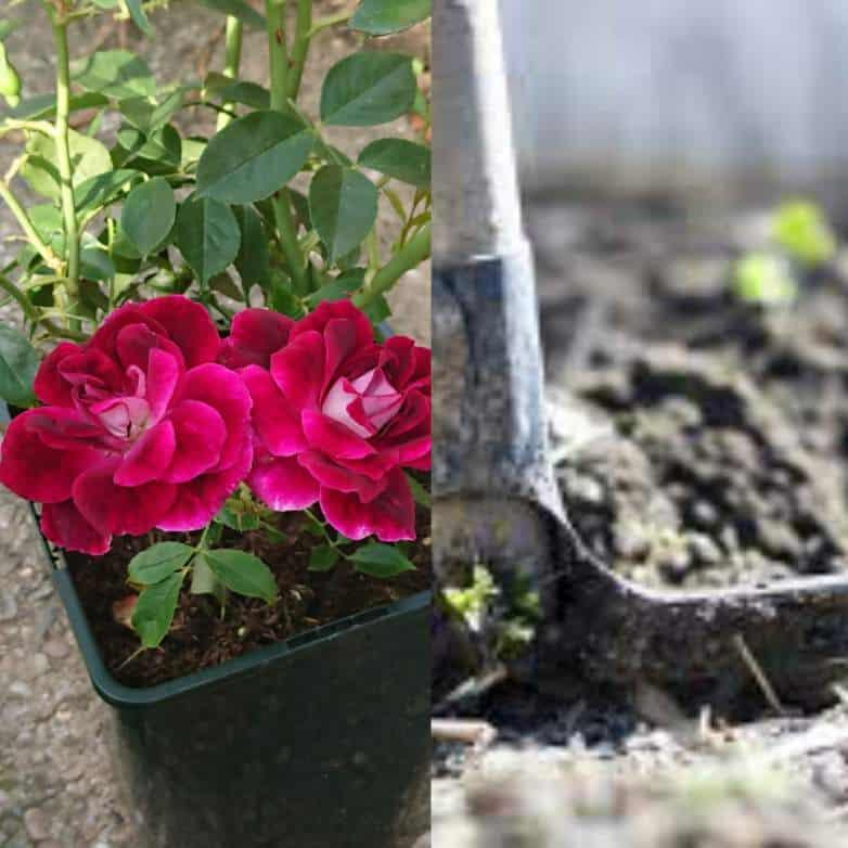 Roses in clay soil