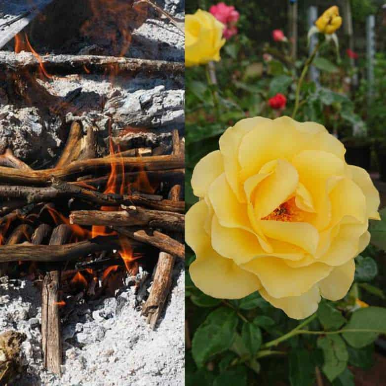Do roses like wood ash