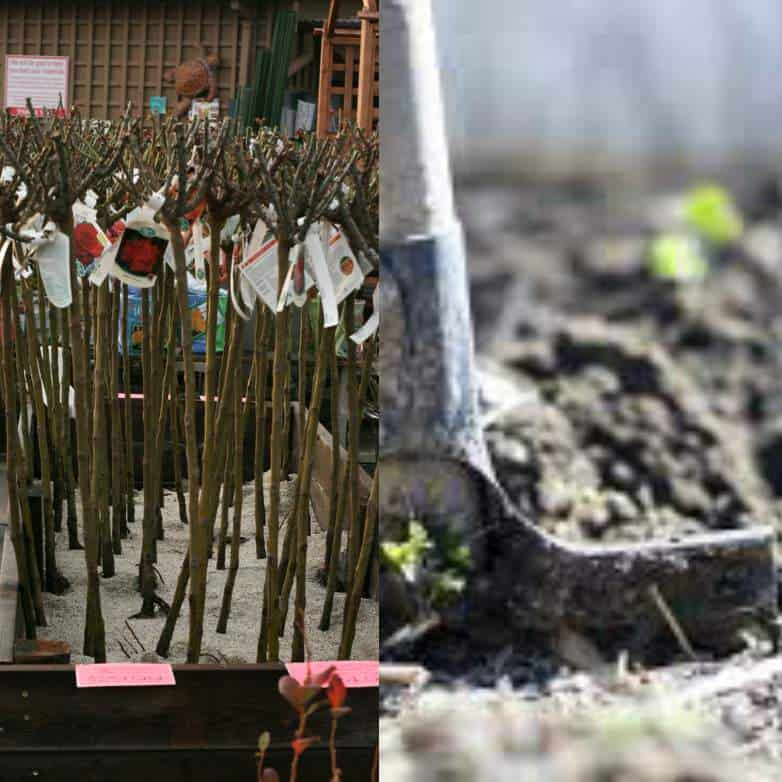 When to plant bare root roses