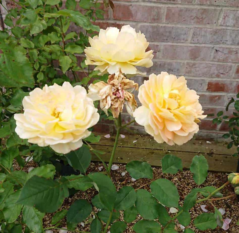 roses in rocky soil