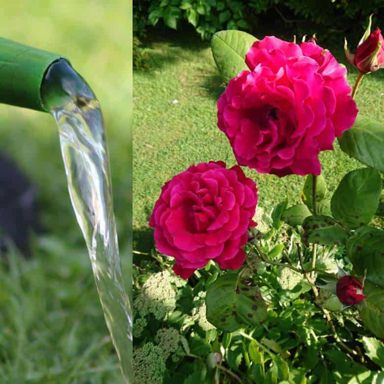 How best to water roses