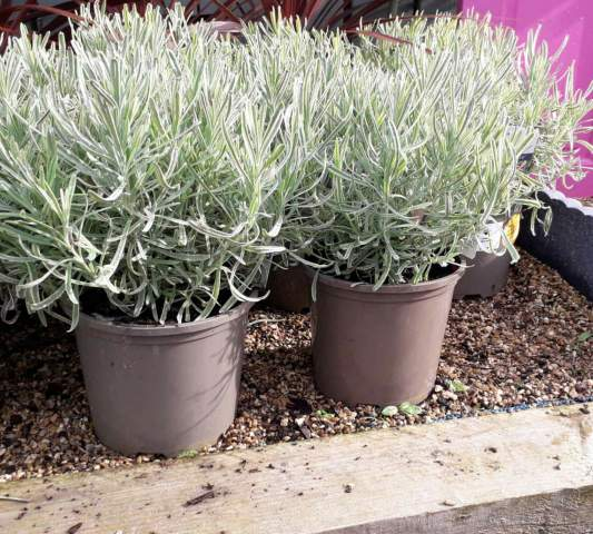 why your lavender isn't blooming
