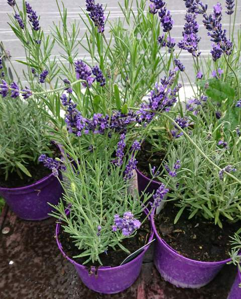 How to transplant lavender