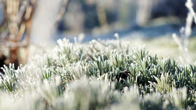 Lavender in the winter