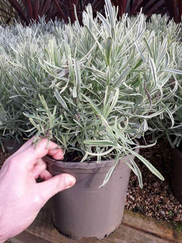 Lavenders are easy to grow