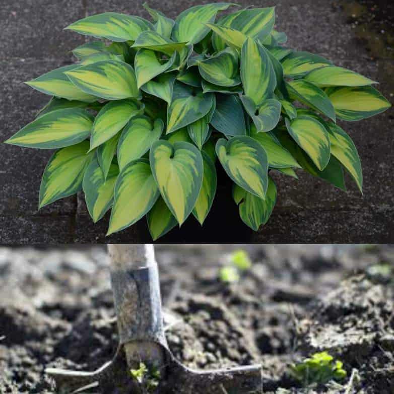 Hostas sandy soil