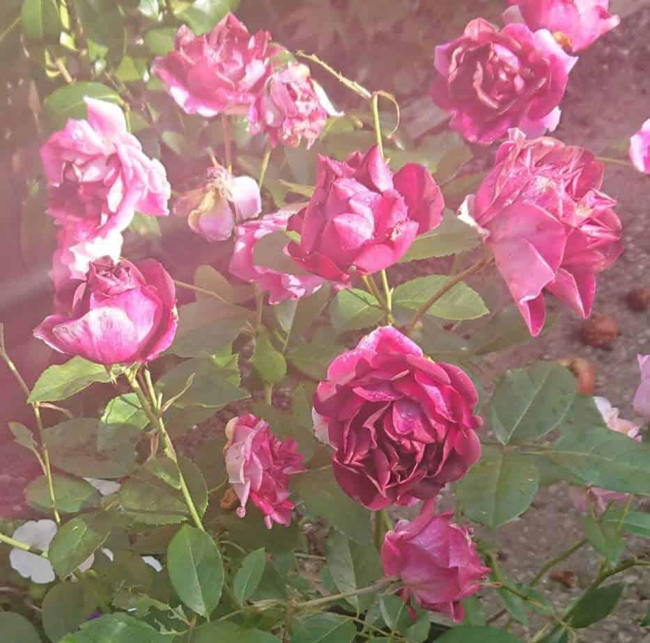 Will roses grow in wet soil?