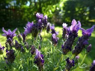 Lavender annuals or perennials