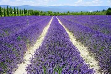How far apart to plant lavender