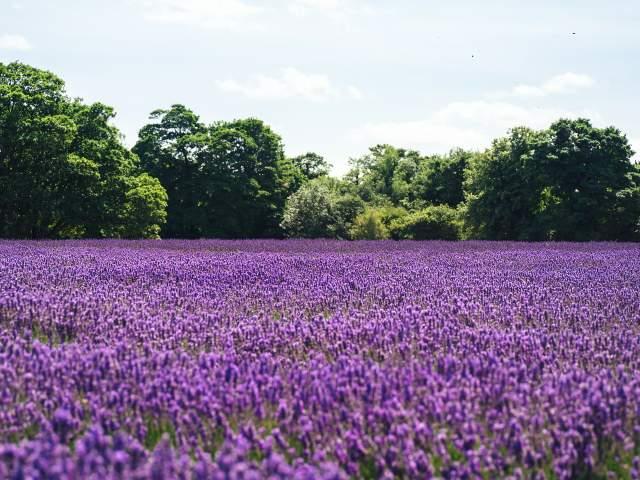 Does lavender spread