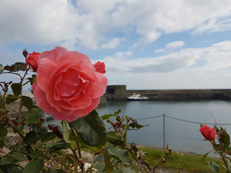 Regosa roses growing by the sea