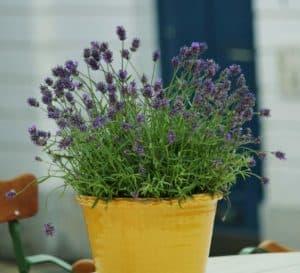 Lavender in a ceramic pot