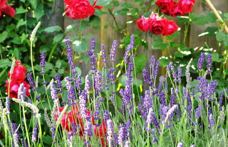 5 Tips For Growing Lavender With Roses Gardener Report