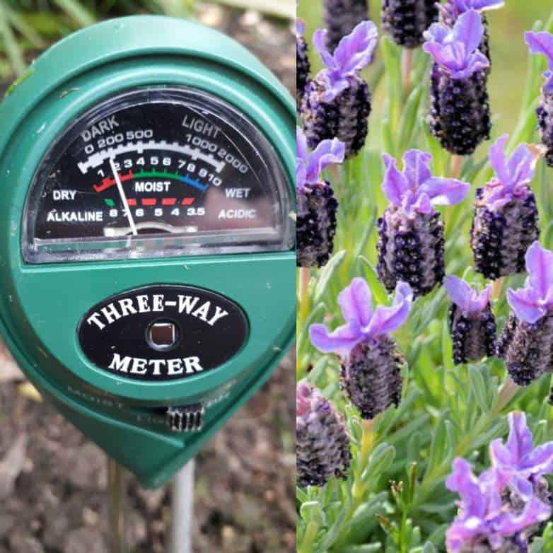 Will lavender grow in acidic soil?