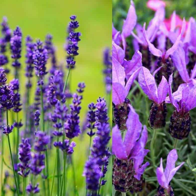 French Vs English Lavenders