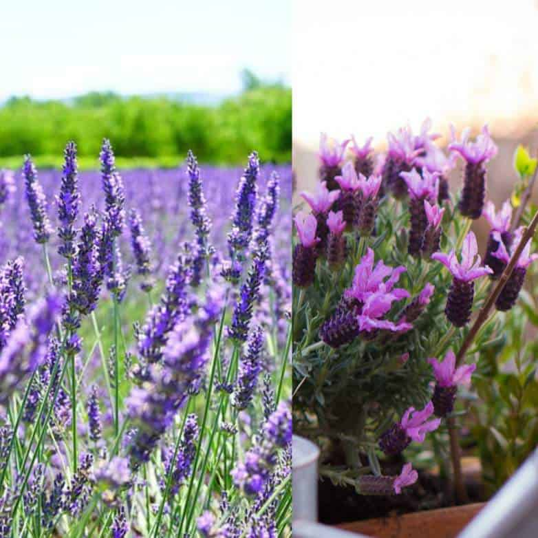 English and French lavender differences