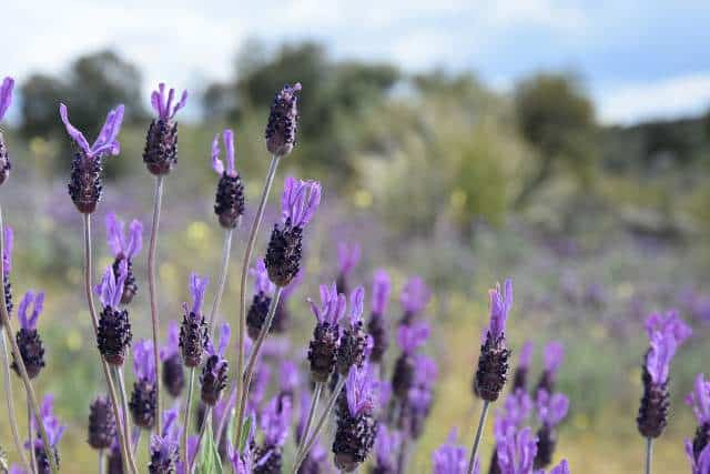 Will French lavender survive winter
