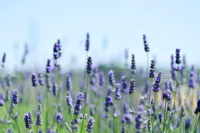 Which Lavender Plant Is Easiest To Grow Gardener Report