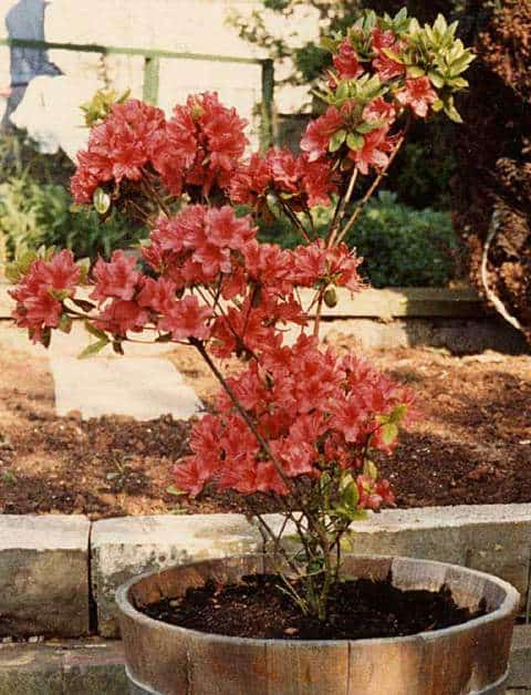 azalea soil pots and containers