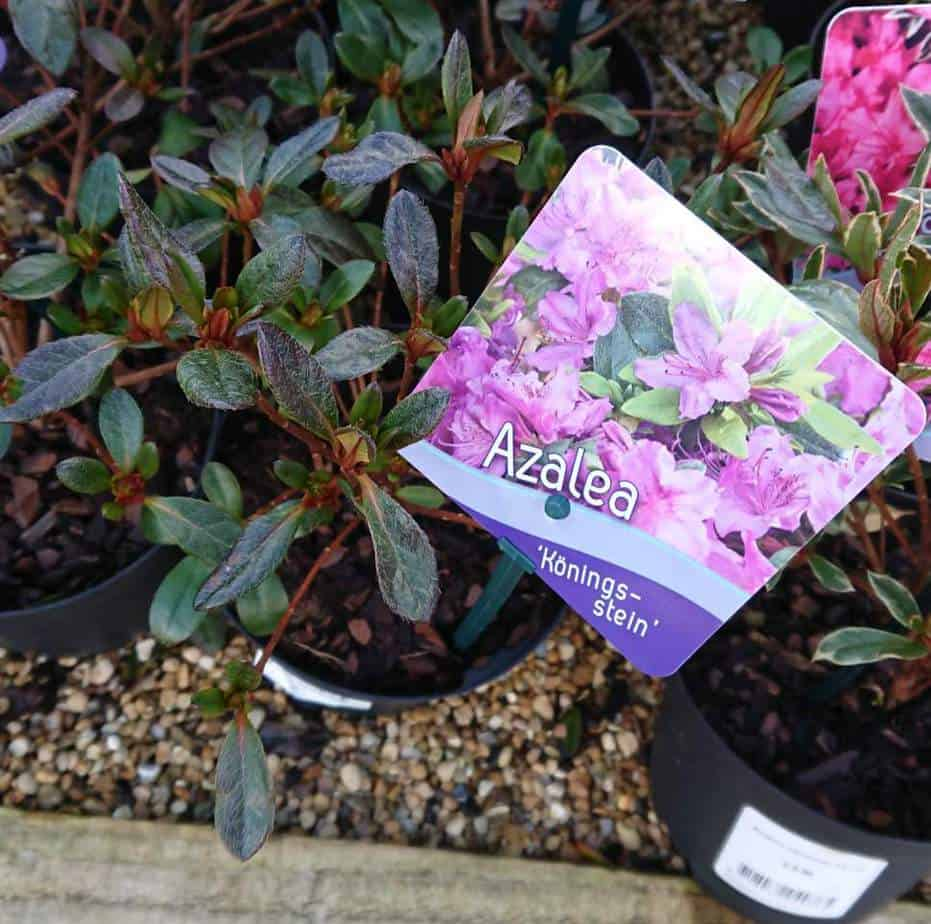 Watering azaleas