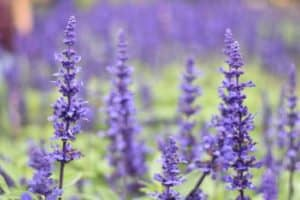 lavender grosso bloom for how long and when