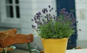 watering lavender in pots in hot weather