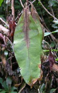 azalea plant dying