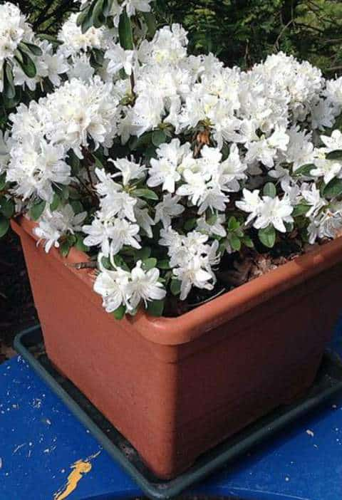 Why Is My Potted Azalea Dying 7 Reasons Gardener Report