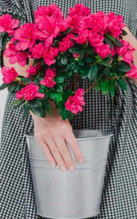 Why Are My Indoor Azalea Leaves Falling Off Gardener Report