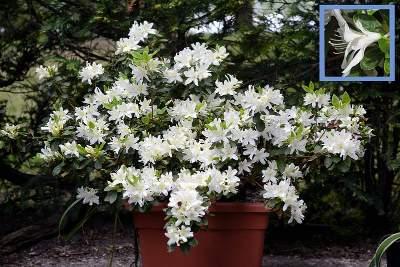 Azalea in pots outdoors