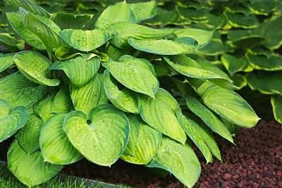 Soil for Hostas