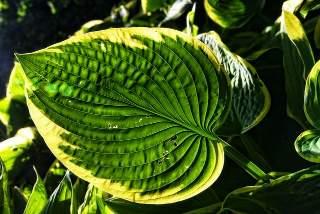 hostas with a variegated leaf