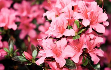 3 Reasons Why Your Azalea Leaves And Flowers Are Wilting Gardener Report