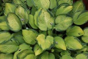Larger hostas varieties