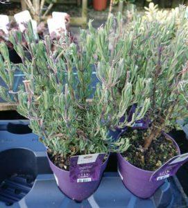 French Lavender 'Anouk'
