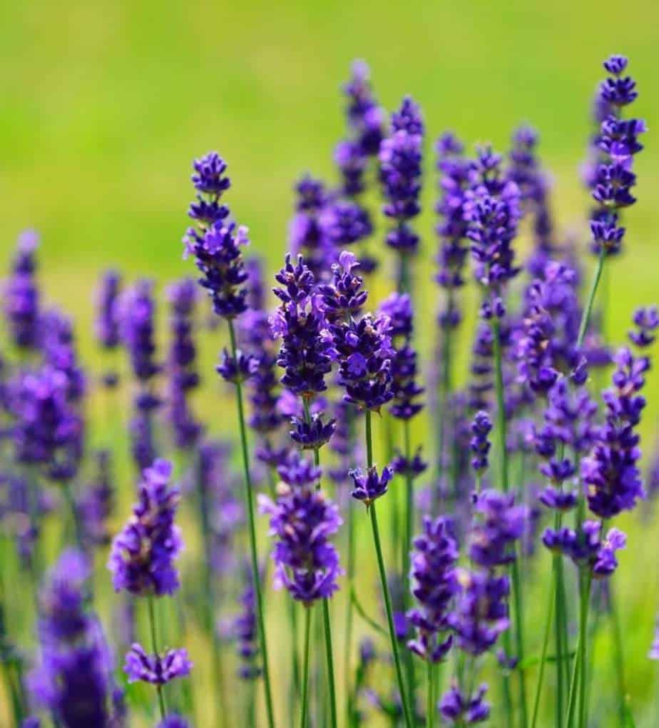Lavender 'Provence' Planting