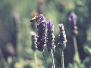 Lavender full sun