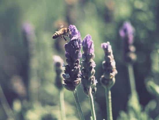 Lavender not growing