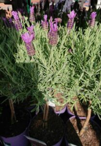 lavender that is healthy