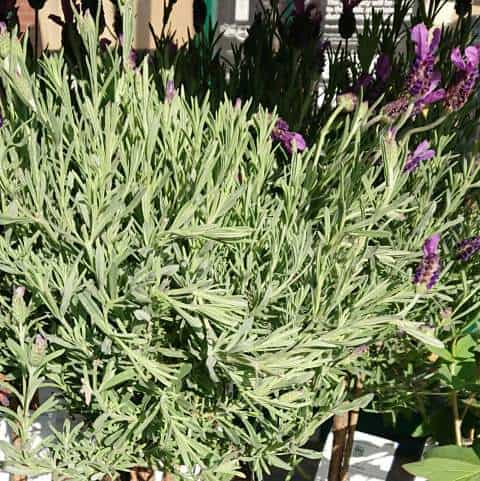 Lavender growing sideways
