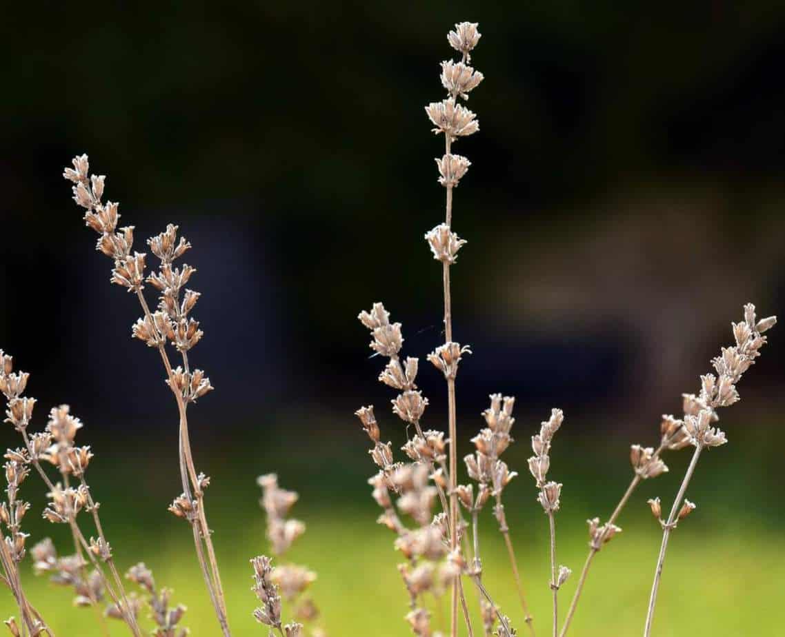 Lavender brown flowers