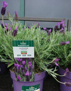 Lavender straight