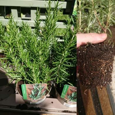 Rosemary turning brown