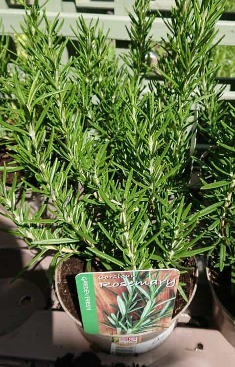 How to revive a dying rosemary plant
