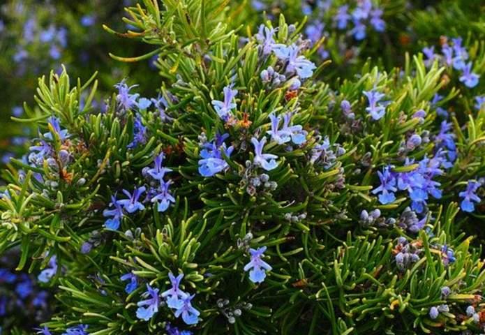 Rosemary not flowering