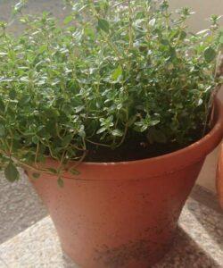 Thyme plant yellow