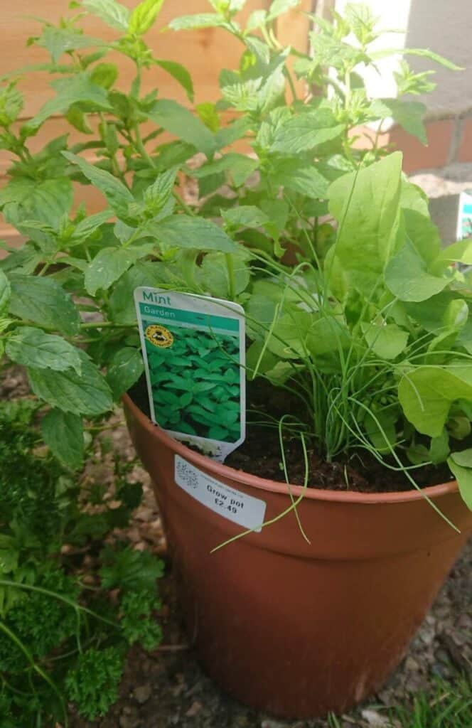 Herbs including mint, chives and parsley all growing in the same compost based potting soil.